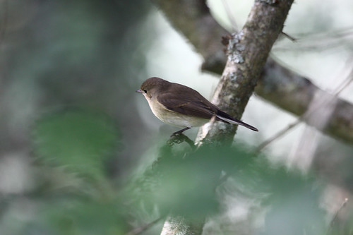 """Red-breasted Flycatcher, St Mary's, 271013 (M.Halliday)A • <a style=""""font-size:0.8em;"""" href=""""http://www.flickr.com/photos/30837261@N07/10516161053/"""" target=""""_blank"""">View on Flickr</a>"""