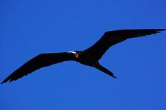 #133 Magnificent Frigatebird (bsmity13) Tags: wild bird keys florida ft 365 frigatebird fortjefferson manowar manofwar magnificentfrigatebird fregatamagnificens drytortugasnationalpark drto