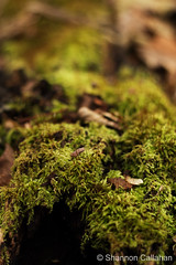 Green Carpet (chazyshay) Tags: green nature forest moss log woods fuzzy lichen