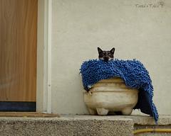 *** (Tania's Tales) Tags: street door city blue urban cats animal stairs cat mammal feline entrance streetphotography bowl porch stray vase hiding exploration rag   catshead    fotografiastradale taniastales