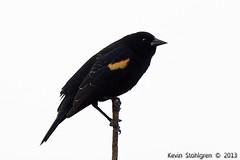 Agelaius phoeniceus (Kevin Stohlgren) Tags: georgia blackbird redwinged agelaius phoeniceus