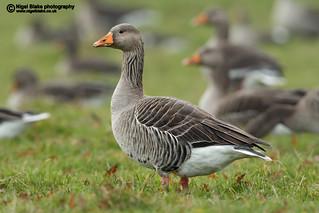 Greylag Goose, Anser anser.