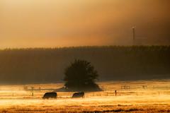 Bendigo morning (Ian@NZFlickr) Tags: morning early cattle hawk central vineyards nz otago bendigo vision:sunset=0787 vision:mountain=0512 vision:sky=067 vision:outdoor=0814