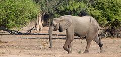 A walk in the park (Thomas Retterath) Tags: africa animals tiere wildlife safari zimbabwe afrika elefant mammals allrightsreserved africanelephant herbivore simbabwe bigfive manapools loxodontaafricana säugetier elephantidae 2013 pflanzenfresser chikwenya zambezivalley thomasretterath copyrightthomasretterath
