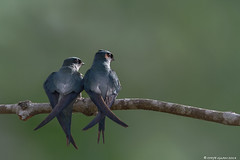 IMG_6928 (Chye Guan, Tan) Tags: b nature birds animals singapore wildlife swift avian treeswift greyrumpedtreeswift canon7d canonef600mmii