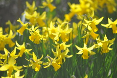 Pavilion_Gardens_0061 (Peter-Williams) Tags: uk flowers garden sussex countryside brighton crocus daffodil parkland carmelia paviliongardens