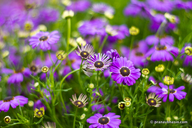 Variants Of Purple Flowers, At Leisure Valley, Gurgaon