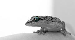 Gecko (WelshPixie) Tags: gecko