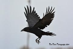 Common Raven DSC_6737 (Ron Kube Photography) Tags: canada bird nature birds fauna nikon alberta common raven ornithology corvid corvuscorax commonraven southernalberta d7100 globalbirdtrekkers ronaldok nikond7100 ronkubephotography