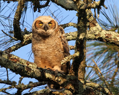 Great Horned Owlet (minds-eye) Tags: bird owl prey greathornedowl flordia owlet