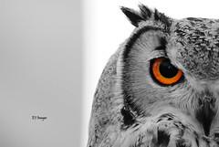 The Eye Has It (EJ Images) Tags: uk portrait england slr bird eye suffolk nikon owl dslr ej fayre avian birdofprey eastanglia selectivecolour 2014 nikonslr d90 countryfayre nikondslr orangeeye henham nikond90 owlportrait 55300mmlens ejimages henhamcountryfayre dsc1086c5g2