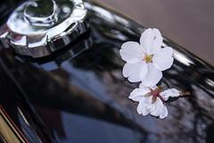 _DSC2038.jpg (d3_plus) Tags: life flowers food flower japan cherry lunch nikon bloom cherryblossom  sakura  kanagawa kawasaki thesedays    nikon1 theseday 1nikkor 1nikkor185mmf18 nikon1j3 1nikkor18mmf18 nikon1 j3 1nikkorvr10100mmf456