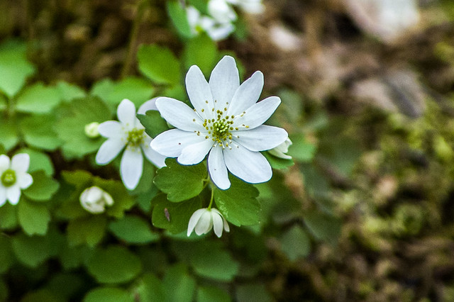Hoosier National Forest - Pate Hollow - Rue Anemone - April 13, 2014