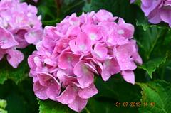ORTENSIE (ivafadelli) Tags: fiori rugiada ortensie