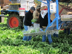 IMG_1160 (heajohnson76) Tags: california people places equipment credit produce ucd farmworkers leafygreens handpicking headlettuce montereyco davidgoldenberg packingpackaging fieldpacking harvesthandling