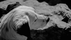 Perrito Blanco y Negro (kubrick200x) Tags: chile pet naturaleza dogs nature clouds trekking eyes hiking perro nubes perros montaa senderismo mascota cordillera quintaregion caleu cerroelroble cordillleradelacosta