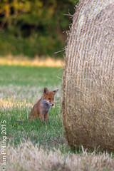 20150702-Home-3724.jpg (The Aquanaught) Tags: field animals watching hunting fox hay bale vulpesvulpes faysfamenne