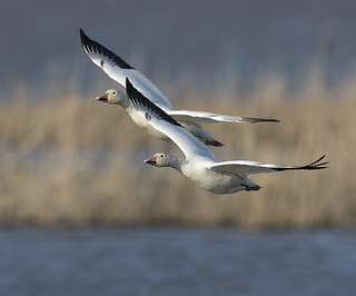 Snow Goose pair over the marsh