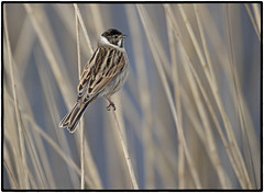 Reed Bunting (CliveDodd) Tags: emberiza schoeniclus reed bunting