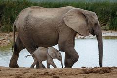 Ado Elephant-19.jpg (BoCat31) Tags: faunesauvage afrique éléphanteau famille