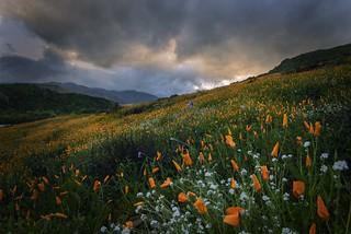 Walker Canyon Lake Elsinore wild flower