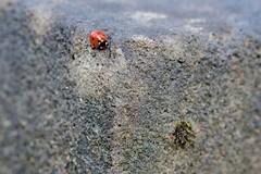 _MG_2728 (chogori20) Tags: bird nature oiseau animal garden coccinelle ladybug