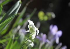 snowdrop #7 (streetr's_flickr) Tags: snowdrops springflowers garden flowercloseups hertfordshire stalbans
