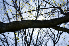 Spring May 4-0046 (MoPhotos Photography) Tags: canada tree spring nikon cans2s d3100