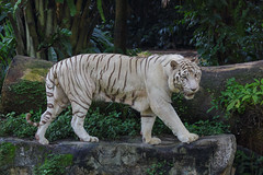 White Tiger 2 (randmphotos) Tags: singapore asia places