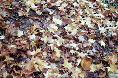 . (dichohecho) Tags: trees film leaves analog analogue pentaxmesuper mesuper westonbirtarboretum kodakcolorplus200 ubuphotosoc dichohecho roll60