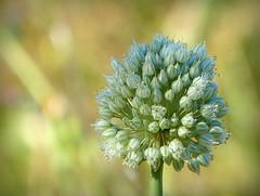 Allium sp. (II) (.Bambo.) Tags: flowers plant flores flower planta flor plantae allium amaryllidaceae hortaliza lavallesa herbcea
