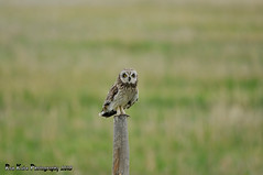Short-eared Owl DSC_9855 (Ronaldok) Tags: canada bird nature birds fauna nikon raptor alberta owl ornithology owls birdofprey shortearedowl asioflammeus shorteared southernalberta d300s globalbirdtrekkers ronaldok nikond300s