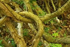 Lian (blondinrikard) Tags: gteborg vines vine knot knut lian intertwined botaniska nationaldagen lianer botaniskatrdgrdengteborg slingra slingrar slingrad