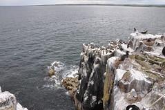 Cliff dwelling (Pulchra Semper) Tags: cliff gulls northumberland northumbria northsea shag farne farneislan