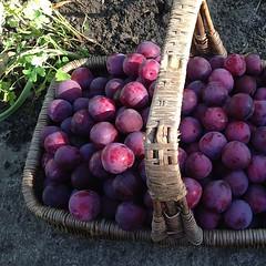 "#yum #fruit #harvest #urbanharvest #urbanhomestead #urbanfarm #garden #plums #purple #fruitbasket #nofilter • <a style=""font-size:0.8em;"" href=""https://www.flickr.com/photos/61640076@N04/9169494711/"" target=""_blank"">View on Flickr</a>"