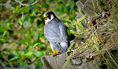 Adult Male Peregrine Falcon. (spw6156 - Over 5,160,003 Views) Tags: light copyright male adult steve  iso falcon cropped waterhouse peregrine peregrinefalcon heavily stevewaterhouse lenspoor 800d800150500mm httpwwwplymperegrinescouk plymperegrines stevewaterhouseperegrinefalcon stevewaterhouseplymperegrines