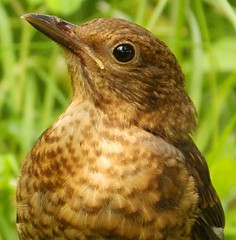 "Young Blackbird: ""Me looking at you looking at me"" (Cardedfolderol) Tags: summer birds turdusmerula juvenile blackbird youngsters thrushes"