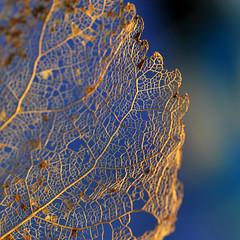 Arsenic et vieilles dentelles (3) Série (Anne*°) Tags: ©annedhuart 2013 arsenicetvieillesdentelles dentelles lace leaf feuille decomposition série intertwining entrelacs annedhuart