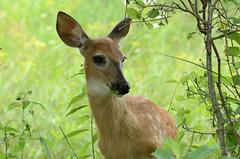 Île St-Bernard (Fransois) Tags: deer fawn québec chevreuil cerf chateauguay faon youngdeer îlestbernard jeunechevreuil
