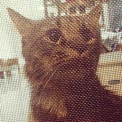 เปิดประตูบ้านมาเจอลิง  .. แสบจริงๆงัดกระจกบานเกล็ดออกมาจากห้องชั้นสอง (ห้องนอนชั้นสองเป็นห้องแมว)  สภาพบ้านวันนี้ผ้าห่มไปอยู่ในส้วม    โซฟาพรุน เฟอร์ไม้เป็นรอยเล็บ มีกองขี้และเยี่ยวกระจายอยู่ตามมุม #กูขอฆ่าตัวตายแปป