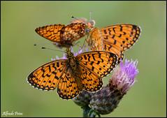 Boloria selene (Explore) (alfvet) Tags: macro nikon ngc butterflies npc insetti valsesia farfalle sigma150 veterinarifotografi d5100