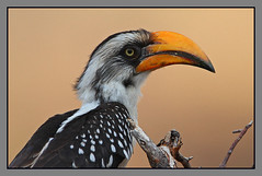Eastern Yellow-billed Hornbill female (Rainbirder) Tags: kenya samburu easternyellowbilledhornbill tockusflavirostris northernyellowbilledhornbill rainbirder