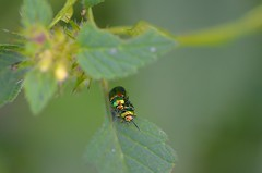 DSC_0184 (NadiaGEERTS) Tags: insecte accouplement coleoptere