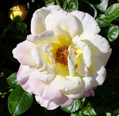 A pale pink Rose in my garden (pat.bluey) Tags: flowers rose australia newsouthwales 1001nights mygarden palepink coth supershot coth5 1001nightsmagiccity sunrays5