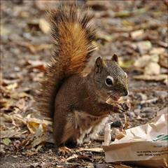 Dumpster Diving (Stella Blu) Tags: animal rodent squirrel eating squareformat nikkor18200 stellablu favescontestwinner thechallengefactory nikond5000 herowinner storybookwinner storybookttwwinner favescontesttopseed favescontestfavored
