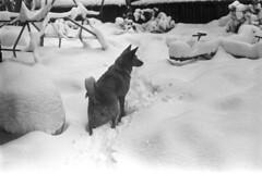 022569 06 (ndpa / s. lundeen, archivist) Tags: winter blackandwhite bw dog pet snow storm 1969 film monochrome boston 35mm ma blackwhite backyard massachusetts nick snowstorm 1960s february addy snowfall blizzard beaconhill addie winterstorm playinginthesnow dewolf heavysnow mtvernonsquare bigsnow coveredinsnow recordsnowfall recordsnow nickdewolf photographbynickdewolf 3mtvernonsquare