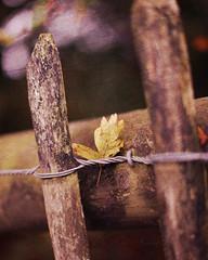 HFF (- e l i -) Tags: fence leaf oak textures hff elirees