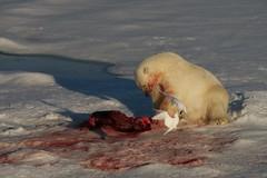 Polar bear with seal kill (David Nunn) Tags: ocean bear sea ice norway circle kill gull ivory svalbard arctic polarbear cap seal polar bearded spitsbergen ursus spitzbergen ursusmaritimus maritimus ivorygull pagophilaeburnea pagophila eburnea