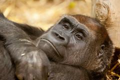 2013-11-02-09h40m25.272P9166 (A.J. Haverkamp) Tags: germany zoo gorilla grace wuppertal dierentuin canonef70200mmf28lisusmlens httpwwwzoowuppertalde dob28111992 pobdublinireland