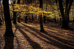 New Forest Autumn (Electric Lemonade Photography) Tags: autumn shadow brown sun fern tree leaves golden nationalpark hampshire ash newforest beech
